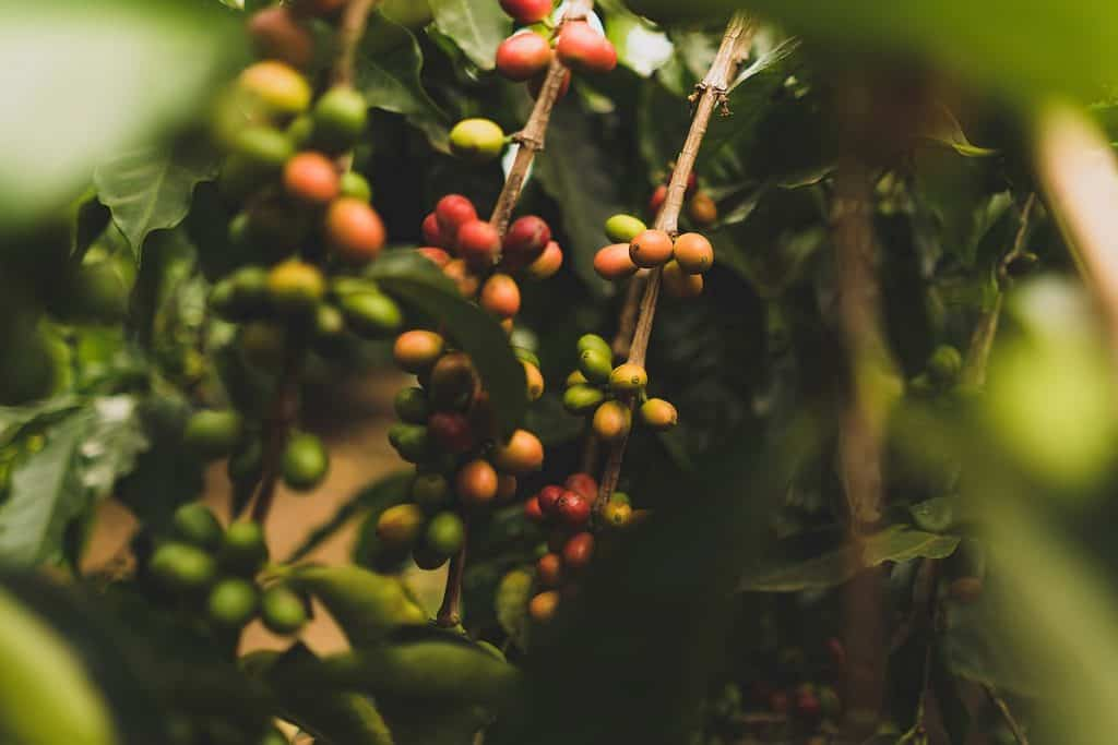 Best Hawaiian Kona Coffee Brands - Kona Coffee Cherries