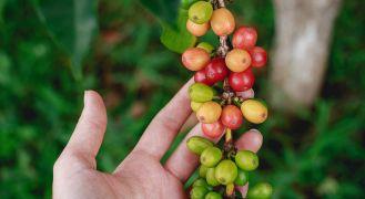 Close up of best kona coffee beans hawaiian coffee farm