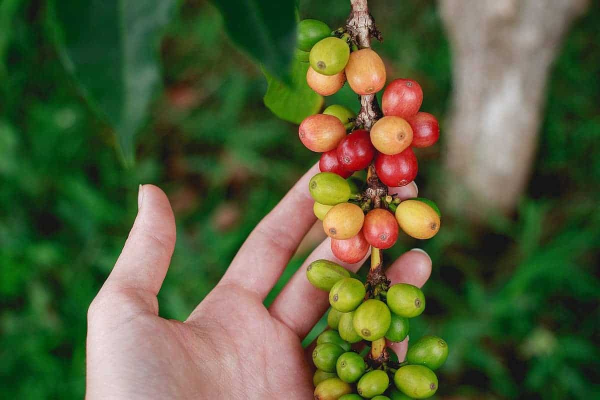 Close up of best kona coffee beans hawaiian coffee farm