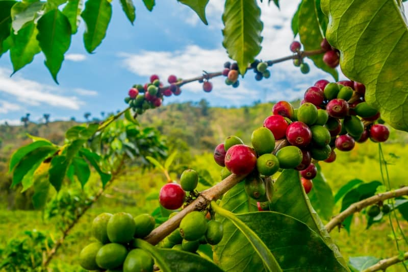 specialty coffee beans on farm in Guatemala