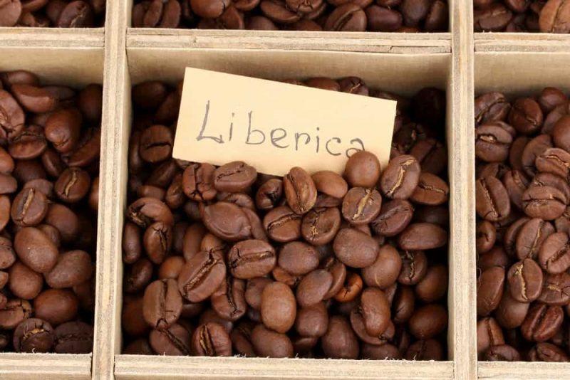 Liberica Coffee bean type closeup.